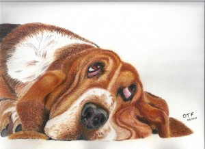 Bassett Hound resized
