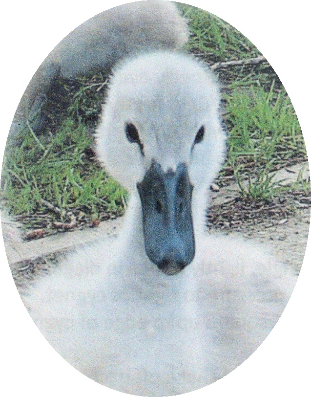 sid the cygnet